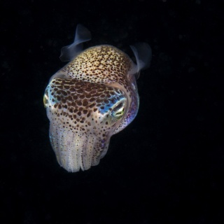 Bobtail Squid Front Side View