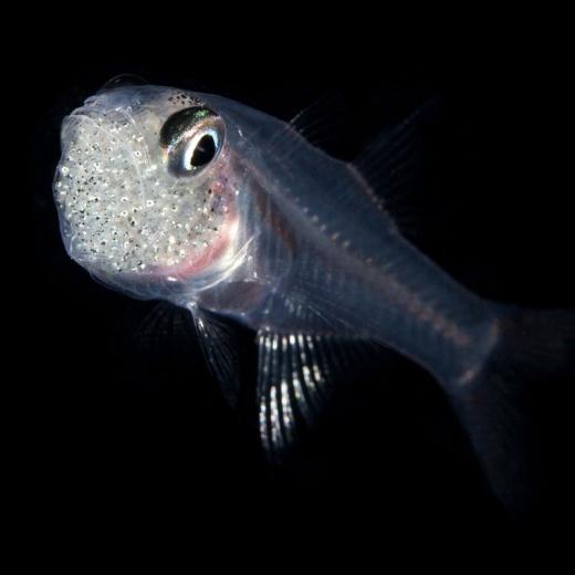 Cardinalfish With Eggs