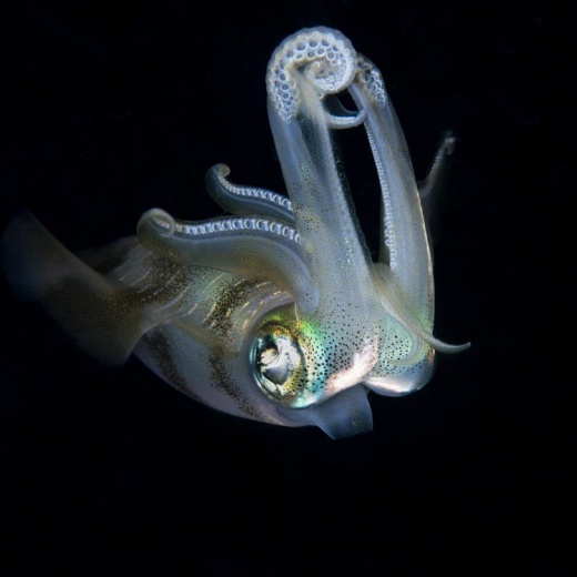 Common Squid - Sepioteuthis sp