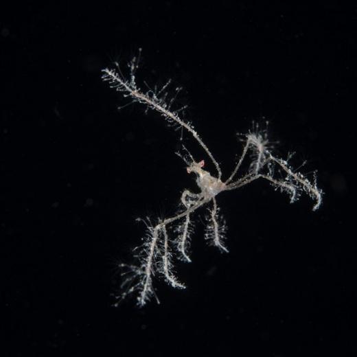 Decorator Arrow Crab Hunting