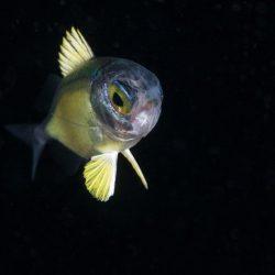 Halocentride - Squirelfish