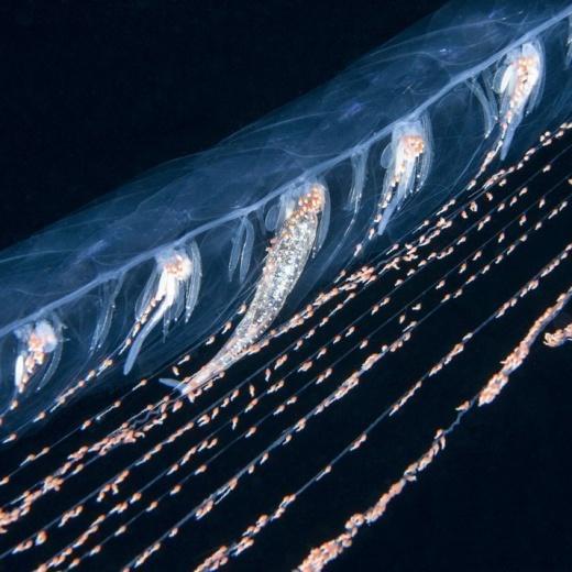 Huge 5m Long Siphonophore