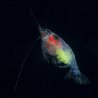 Krill With Green Eggs