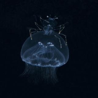 Larval Stage Slipper Lobster Riding Jellyfish
