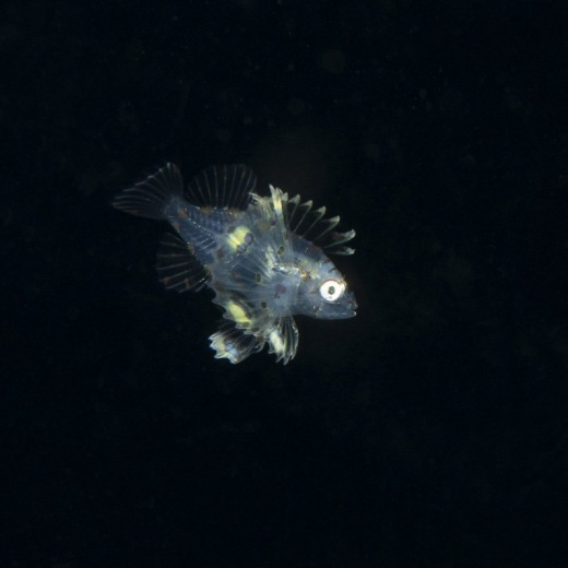 Lionfish (Pterois miles) Post Larval