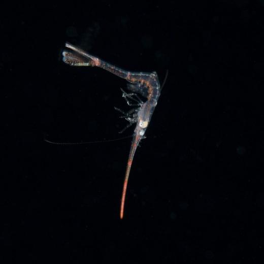 Long Nose Shrimp Face View