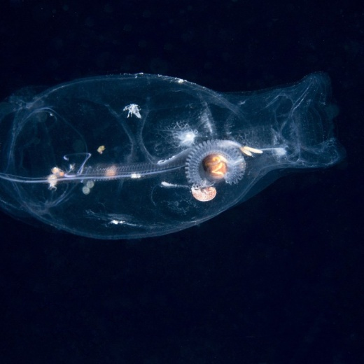 Salp On A Blackwater Dive