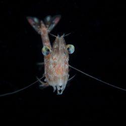 Shrimp Eyes