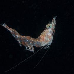Shrimp Side Profile