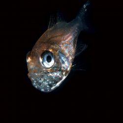 Small Cardinalfish With Eggs