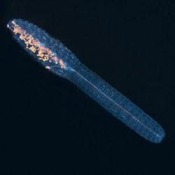 Sophonophore