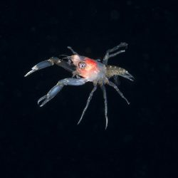 Squat Lobster (Allogalathea elegan) Post Larval