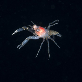 Squat Lobster (Allogalathea elegan) Post Larval