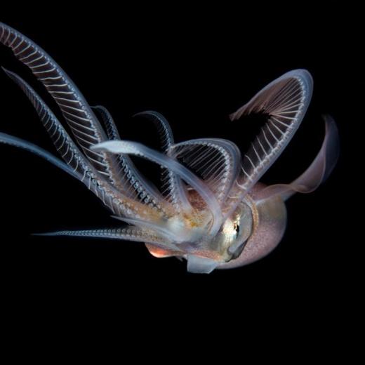 Unknown Cephalopod