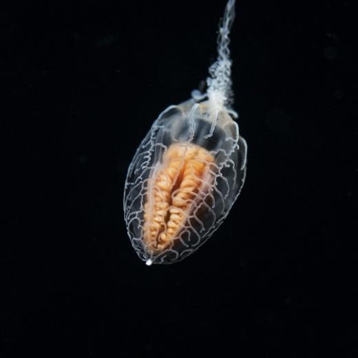 Unknown Jellyfish (Brain View)